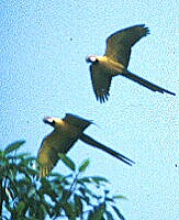 Part of a flight of Macaws